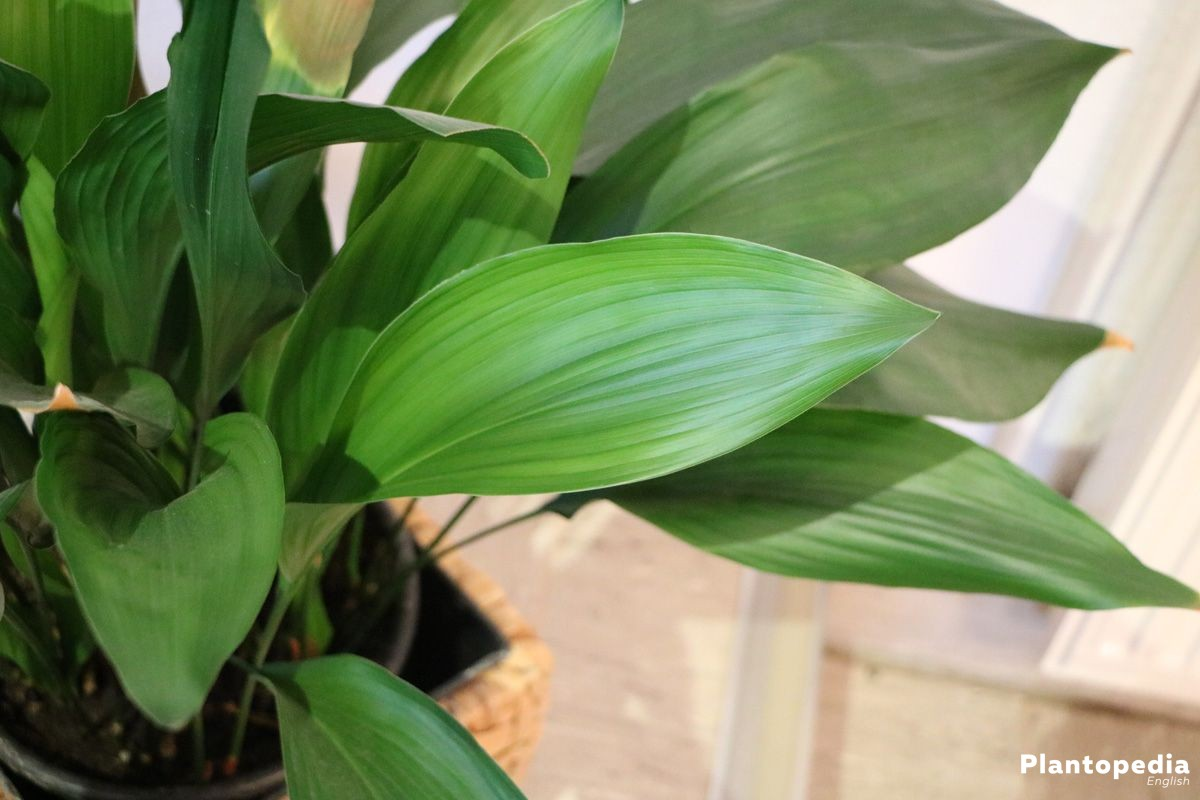 Aspidistra as houseplant