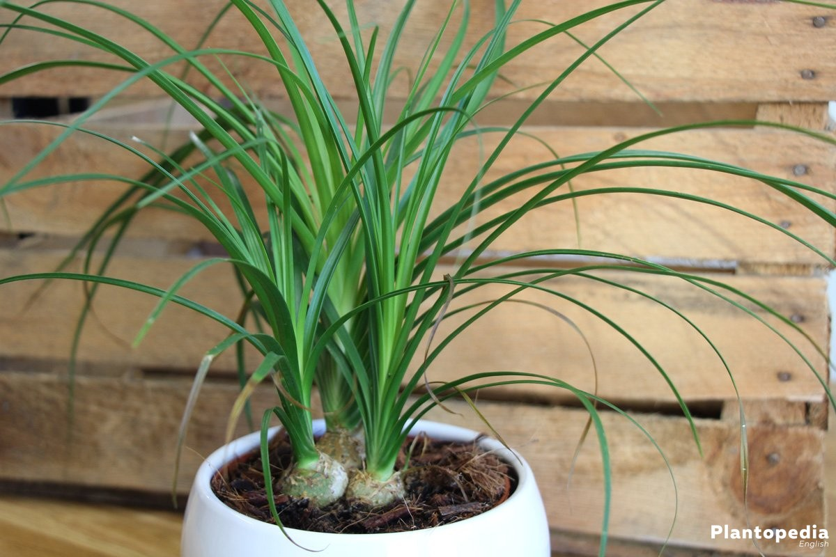 Beaucarnea recurvata for living rooms