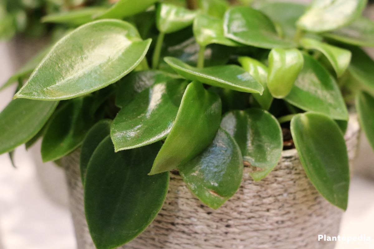 Peperomia obtusifolia Plant Care - Learn How to Grow