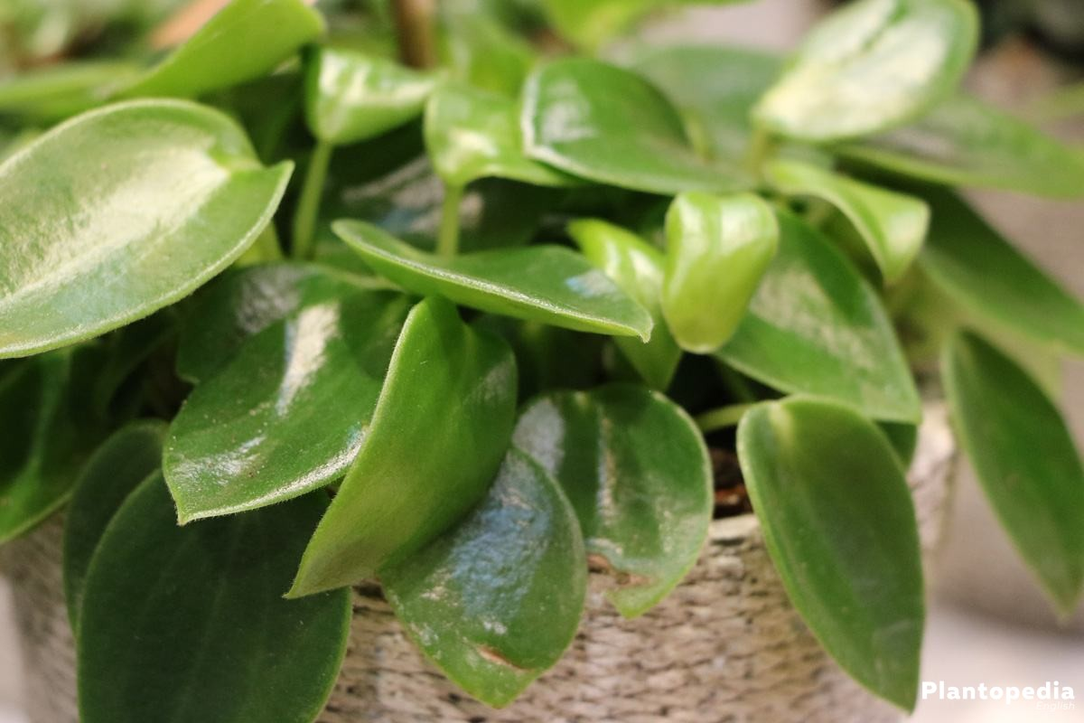 Peperomia Obtusifolia grows bushy and upright