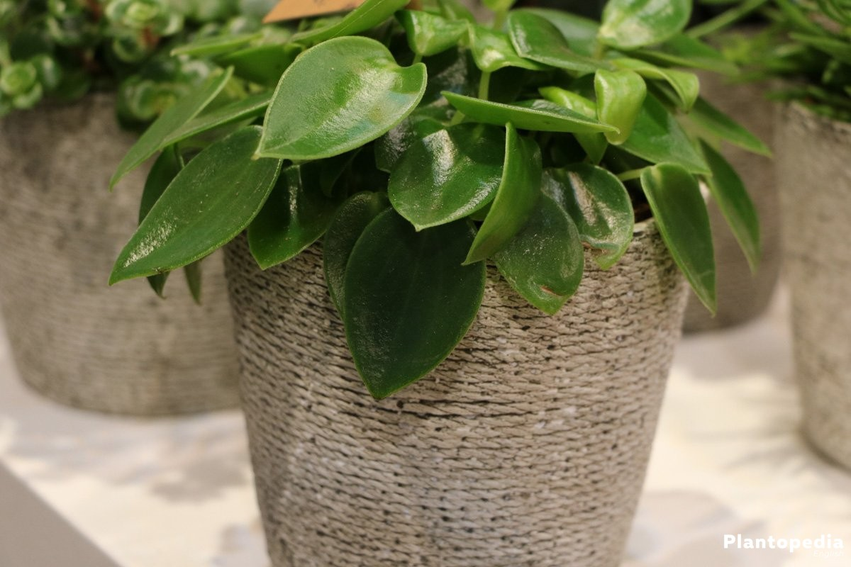 Peperomia Obtusifolia also known as a beautiful table decoration