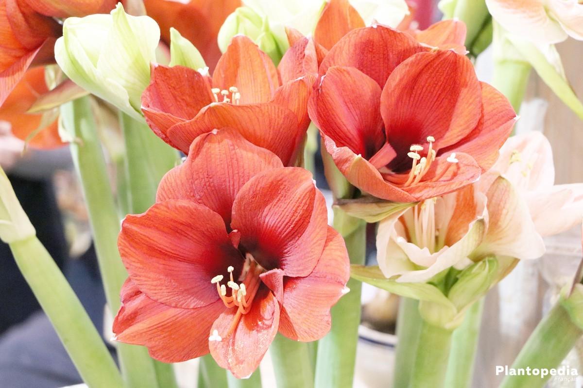 Amaryllis hippeastrum conseils de rempotage entretien for Rempotage bulbe amaryllis