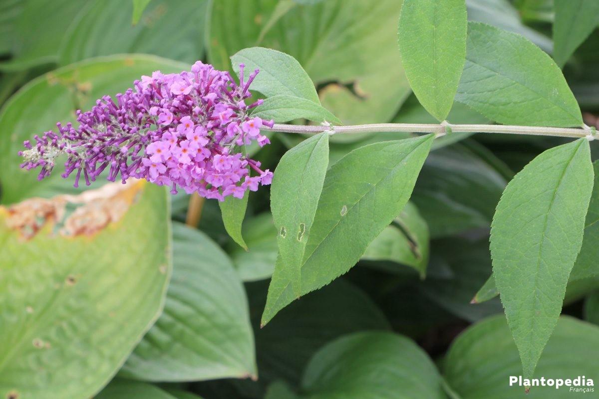 Buddleja davidii/Arbre aux Papillons