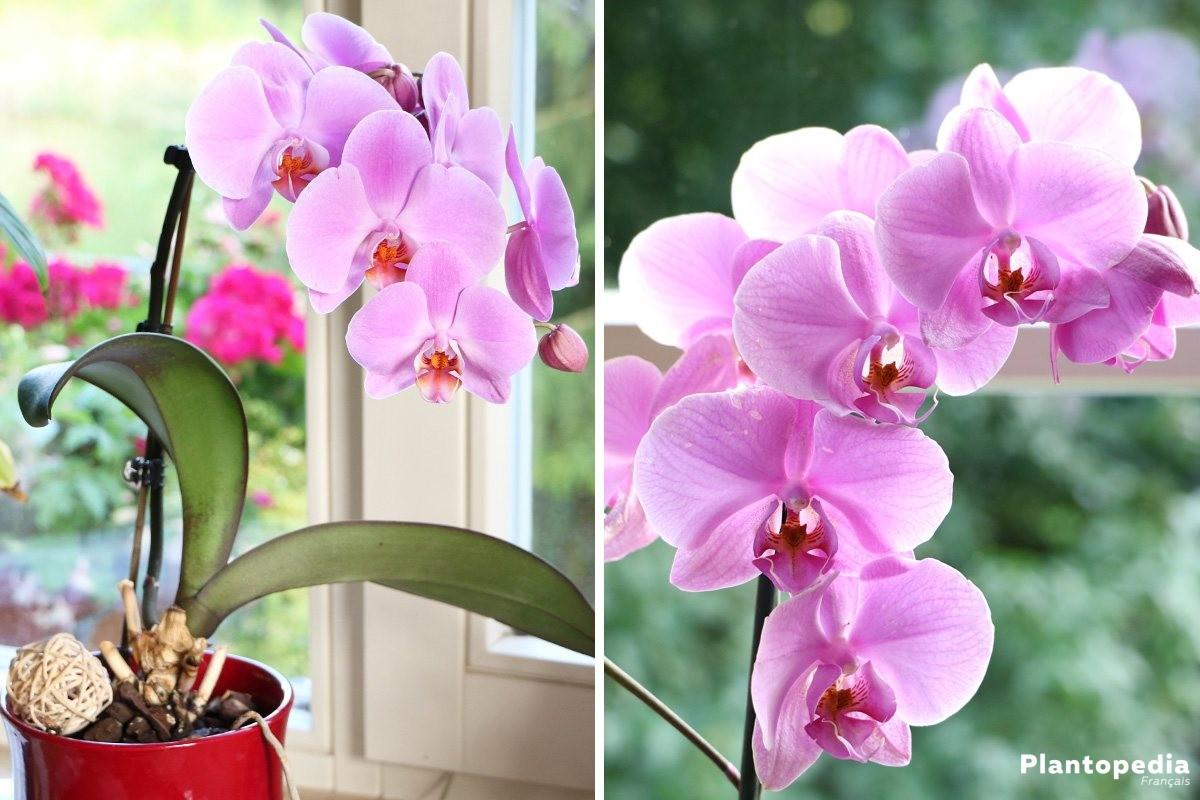 Orchid e conseils d 39 entretien rempotage culture et arrosage plantopedia - Orchidee entretien apres floraison ...