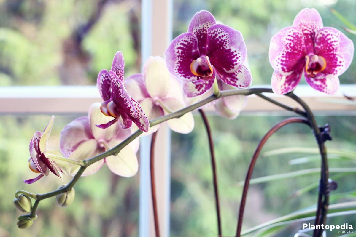 orchid e conseils d 39 entretien rempotage culture et arrosage plantopedia. Black Bedroom Furniture Sets. Home Design Ideas