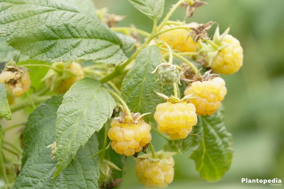 Framboisier, Rubus idaeus